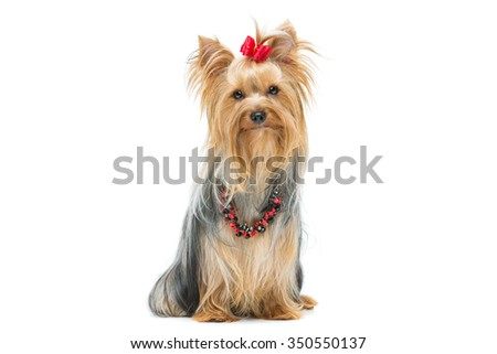 Beautiful yorkshire terrier dog with red bow and beads sitting. Isolated over white background. Copy space.