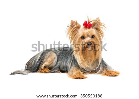 Beautiful yorkshire terrier dog with red bow lying. Isolated over white background. Copy space. - stock photo
