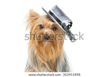 Beautiful yorkshire terrier in fancy hat - stock photo