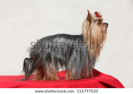 Beautiful Yorkshire terrier in front of white wall