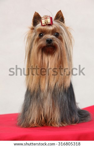Beautiful Yorkshire terrier in front of white wall - stock photo