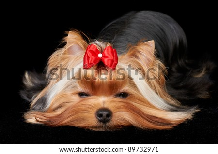 Beautiful Yorkshire Terrier is falling asleep on black background