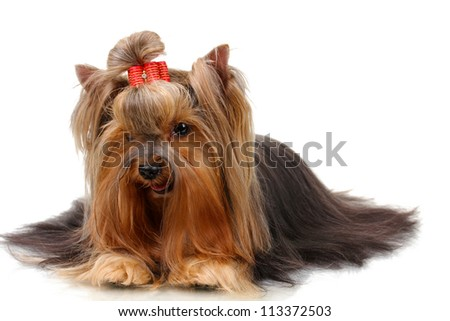 Beautiful yorkshire terrier isolated on white