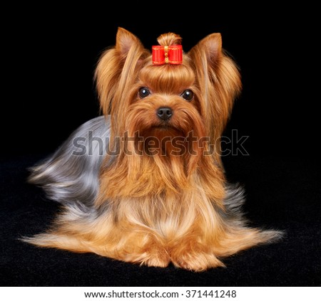 Beautiful Yorkshire Terrier on the black background