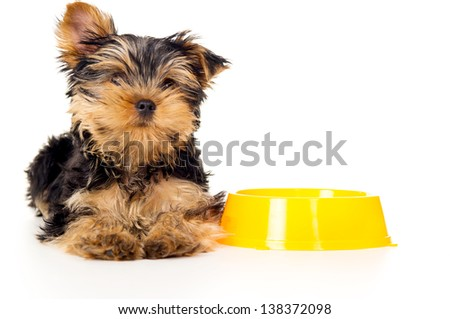 beautiful Yorkshire Terrier puppy is isolated - stock photo