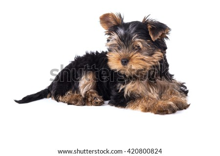 Beautiful Yorkshire terrier puppy lying isolated on white background