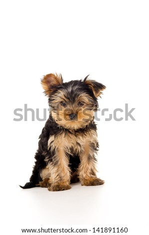 Beautiful Yorkshire terrier sits - stock photo