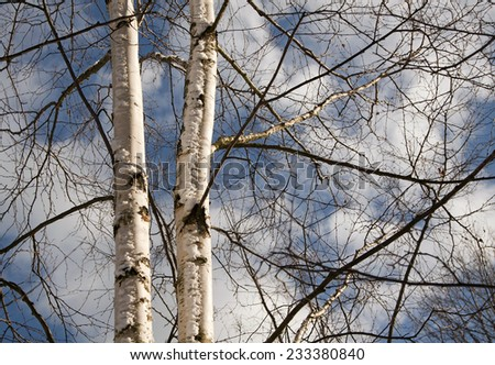 Beautiful young birch trees in Winter - stock photo