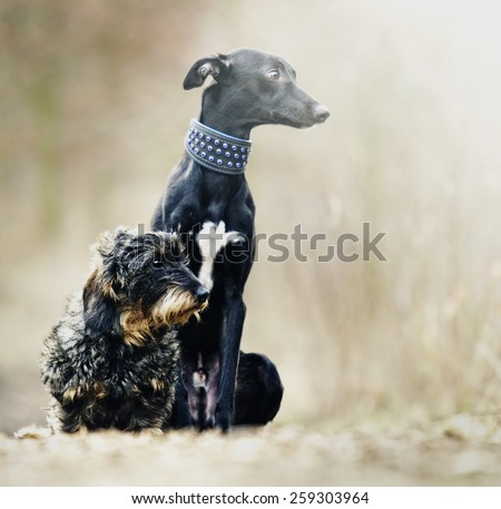 beautiful young black whippet dog and fun dachshund puppy in spring background - stock photo