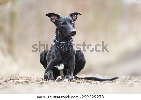 beautiful young black whippet dog puppy waiting in spring background - stock photo