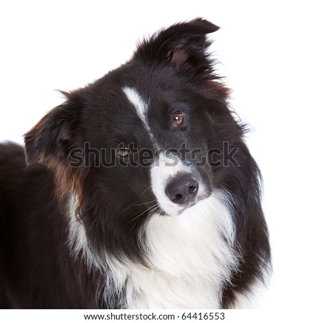 Beautiful young border collie on white background