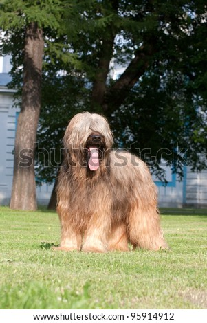 Beautiful young briard standing - stock photo