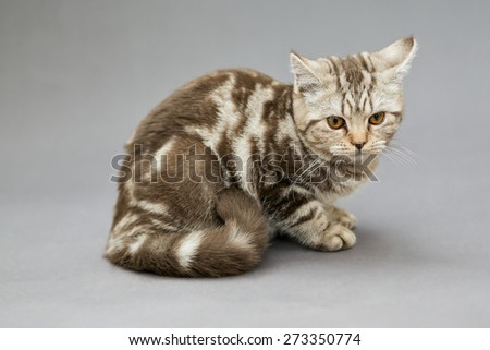 Beautiful young British cat, marble color with brown bands on gray background - stock photo