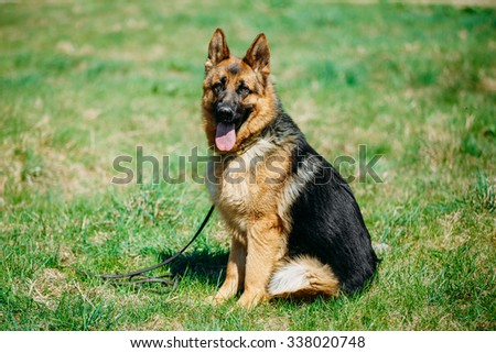 Beautiful Young Brown German Shepherd Dog Sitting In Green Grass in Park