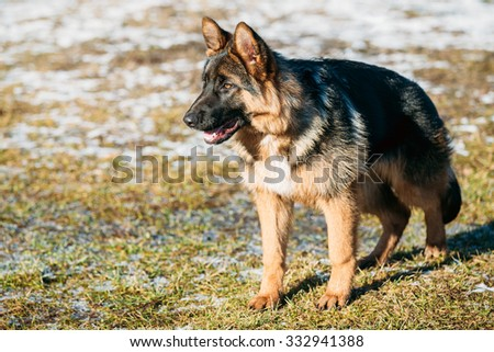 Beautiful Young Brown German Shepherd Dog Staying Outdoor In Spring - stock photo