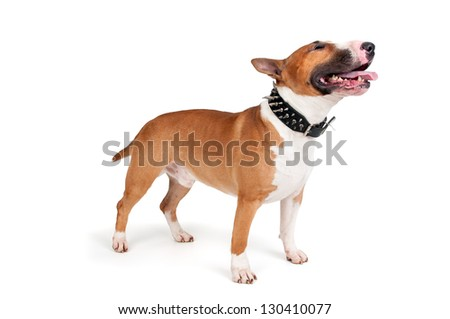 Beautiful young Bull Terrier isolated in white