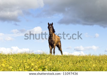 Beautiful young chestnut horse standing in a field of yellow flowers