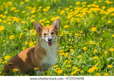 Beautiful young dog Welsh corgi sitting in yellow dandelions outdoors