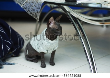 Beautiful young don sphynx kitten sits under a glass table in the living room and sleepily watching nearby,naked cat - stock photo