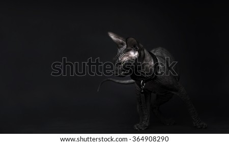 Beautiful young don sphynx kitten sitting around and watching, dark background, naked cat - stock photo