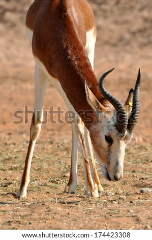Beautiful young gazelle out in a desert - stock photo