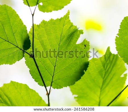 Beautiful young green leaves in late springtime. Nature background - stock photo