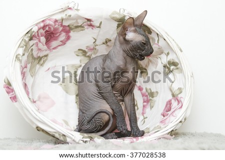beautiful, young, healthy, funny cat breed Don Sphynx sitting in retro white wicker basket and read his bare skin / body care, health and hygiene - stock photo