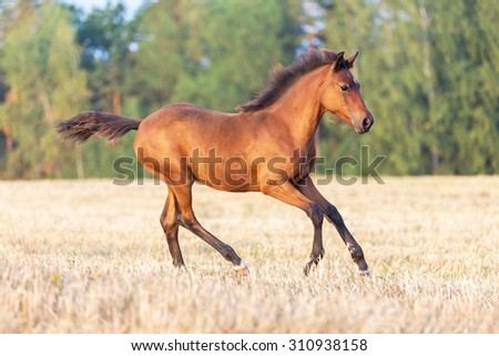 Beautiful young horse running free. - stock photo