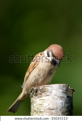 Beautiful young house sparrow sitting on a pole eating