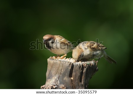 Beautiful young house sparrows sitting on a pole eating