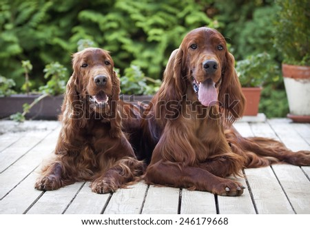 Beautiful young Irish Setters looking at the camera - stock photo