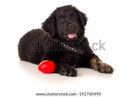 beautiful young labrador lying with toy - stock photo