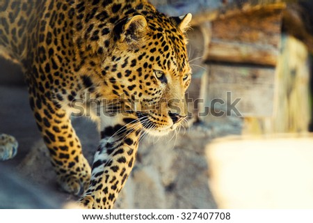 Beautiful young leopard