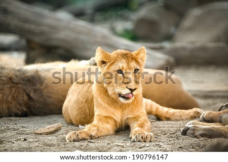 beautiful  young lioness relaxing
