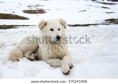 Beautiful young Maremma Sheepdog in the snow