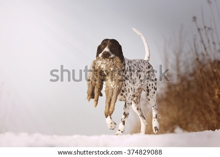 beautiful, young, obedient, trained and happy hunting dog breed Auvergne pointing dog carries and runs on a snowy dirt road in its mouth and holding a field hare - stock photo