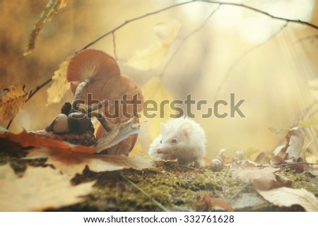 beautiful young small african pygmy hedgehog baby color : albino red eye in autumn forest with sunset - stock photo