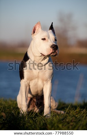 Beautiful young staffordshire terrier - stock photo