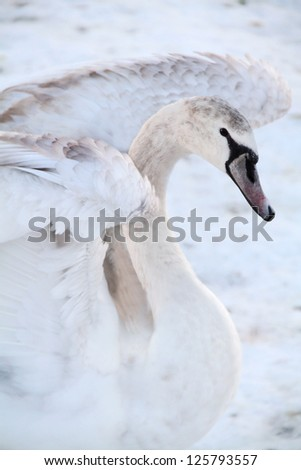 Beautiful young swan