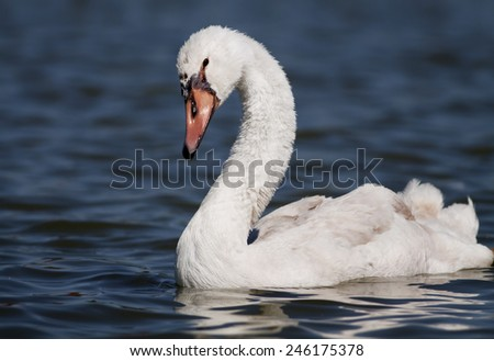 Beautiful young swan swimming in the water - stock photo
