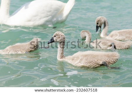 Beautiful young swans in lake - stock photo