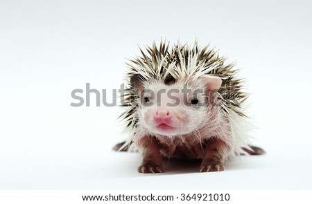 beautiful young sweet cute rodent african pygmy hedgehog baby color white face algerian darg grey pinto with white headspines - stock photo