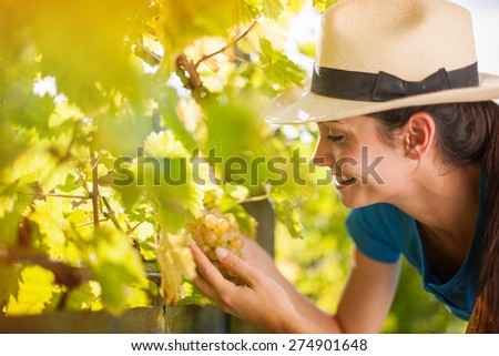 beautiful young woman harvesting the grapes in the vineyards by a sunny day - stock photo