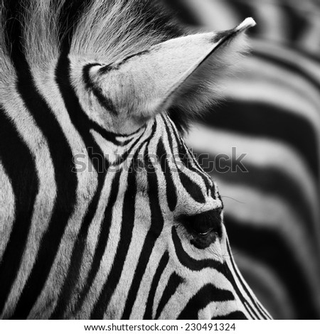 beautiful Zebra Background - stock photo