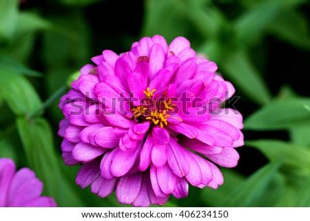 Beautiful Zinnia flowers blooming in garden. Sunflower tribe flowers. Daisy family flowers. - stock photo