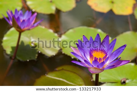 beautifull purple lilly on water