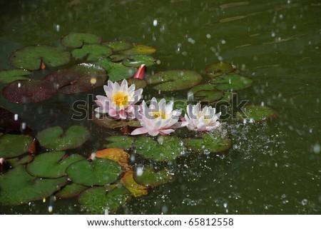 Beautifull water lilly in rain - stock photo