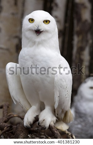 beautifully colored female Snowy Owl, Nyctea scandiaca