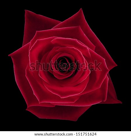Beautifully lit red rose on black background. - stock photo