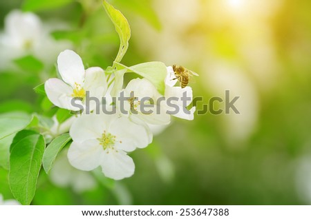 Beauty apple flower with bee in spring